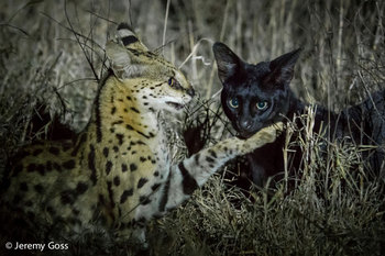 serval-kenya-jeremy-goss.jpg